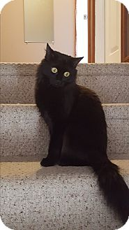 Domestic Mediumhair Cat for adoption in Huntsville, Ontario - Petunia - gentle little girl