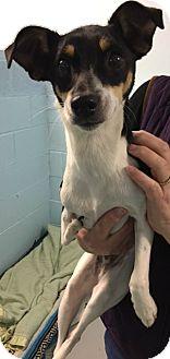Rat Terrier Mix Dog for adoption in Muskegon, Michigan - Norbit