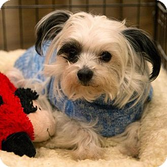 Chinese Crested Dog for adoption in Arlington, Virginia - Petey
