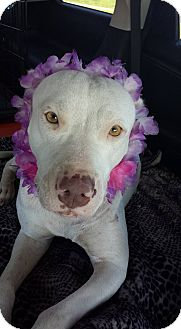 Pit Bull Terrier/Pointer Mix Dog for adoption in Tampa, Florida - Pearl