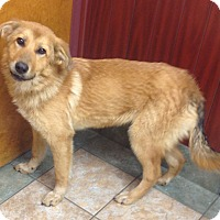 Adopt A Pet :: Goldie - Westport, CT