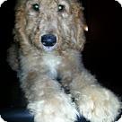 Adopt A Pet :: Golden Doodle - Male