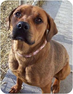 Rhoda   Adopted Dog   Marseilles, IL   Rhodesian Ridgeback ...
