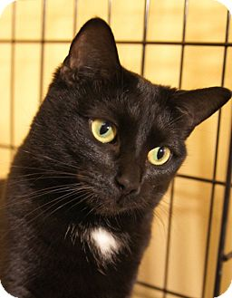 Domestic Shorthair Cat for adoption in Medford, Massachusetts - Bonnie