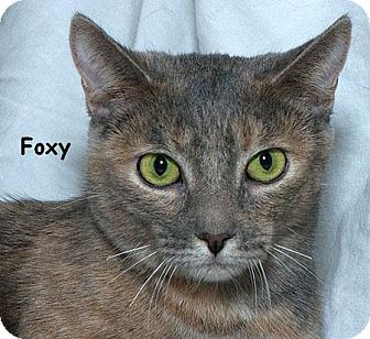 Domestic Shorthair Cat for adoption in Sacramento, California - Foxy B