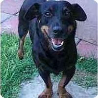 Adopt A Pet :: Bingo - Arlington, TX