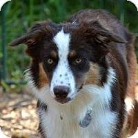 Adopt A Pet :: Amber - Garland, TX