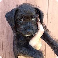Adopt A Pet :: Alexis - Inglewood, CA