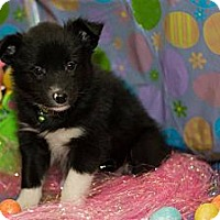Adopt A Pet :: Avalanche - Saskatoon, SK