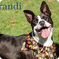 Adopt A Pet :: Brandi - Hamilton, MT