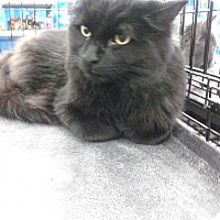 Adopt A Pet :: ShawdowBear - Sterling Hgts, MI