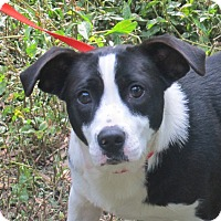 Adopt A Pet :: Cookie - Allentown, PA