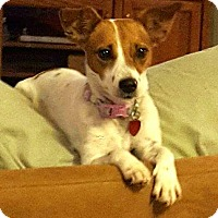 Jack Russell Terrier Dog for adoption in Terra Ceia, Florida - LACEY