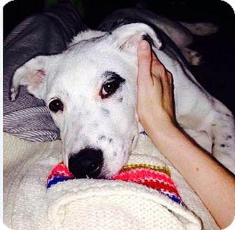 Labrador Retriever Mix Dog for adoption in Overland Park, Kansas - Gus