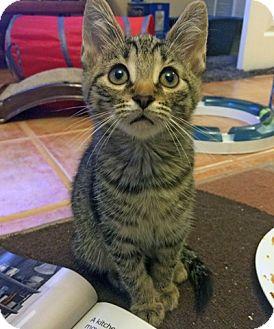 Domestic Shorthair Kitten for adoption in Mississauga, Ontario, Ontario - Majus