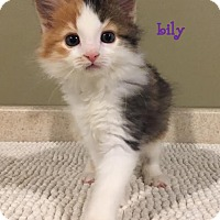 Adopt A Pet :: Lily - Cutie Pie! - Huntsville, ON