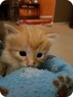 Domestic Shorthair Kitten for adoption in Fort Worth, Texas - Simon