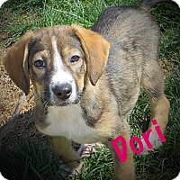 Adopt A Pet :: Dori - Fort Wayne, IN