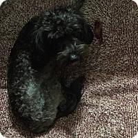 Cockapoo Dog for adoption in Newport, Kentucky - Mistress Elvira