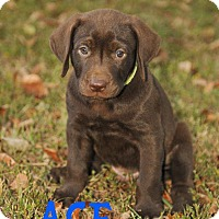 Adopt A Pet :: Ace - Colmar, PA