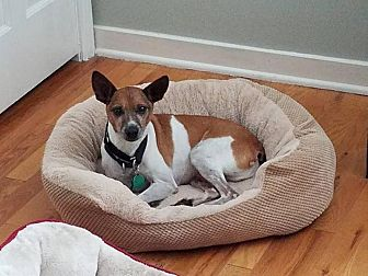 Jack Russell Terrier Mix Dog for adoption in Blue Bell, Pennsylvania - Riley