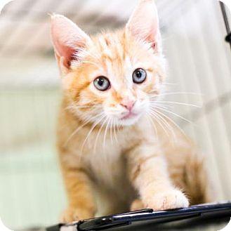 Domestic Shorthair Kitten for adoption in Austin, Texas - Pete