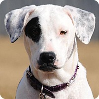 American Bulldog/Labrador Retriever Mix Dog for adoption in Cedartown, Georgia - Patches