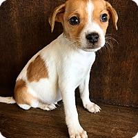 Rat Terrier Mix Puppy for adoption in Fredericksburg, Texas - Clay