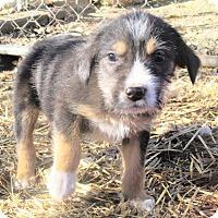 Adopt A Pet :: Coal Christmas boy - Godley, TX