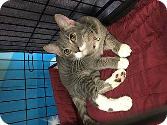 Domestic Shorthair Cat for adoption in ROSENBERG, Texas - Tyler