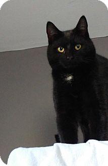Domestic Shorthair Cat for adoption in Colmar, Pennsylvania - Othello