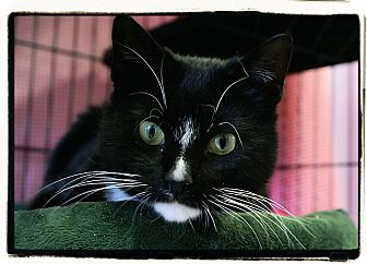 Domestic Shorthair Cat for adoption in Elmwood Park, New Jersey - Taylor