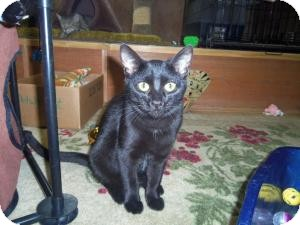 Domestic Shorthair Cat for adoption in Medford, Wisconsin - SHADOW