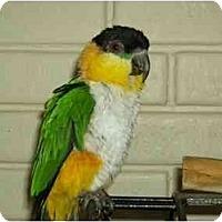 Adopt A Pet :: Sydney - Salt Lake City, UT