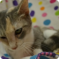 Domestic Shorthair Cat for adoption in East Smithfield, Pennsylvania - Cami