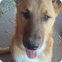 Adopt A Pet :: Dingo - Aurora, CO