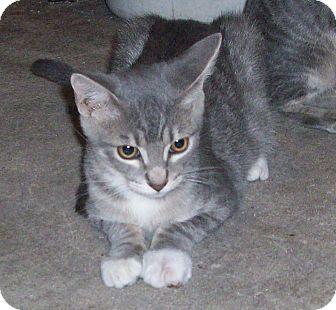 Domestic Shorthair Kitten for adoption in Morriston, Florida - RAG
