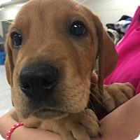 Adopt A Pet :: Lovebug-Lexi's Pup - Cumming, GA