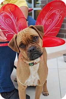 Pug/Terrier (Unknown Type, Small) Mix Dog for adoption in Madison, Alabama - Puggle Jodi