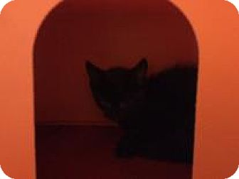 Domestic Shorthair Kitten for adoption in Janesville, Wisconsin - Hershey