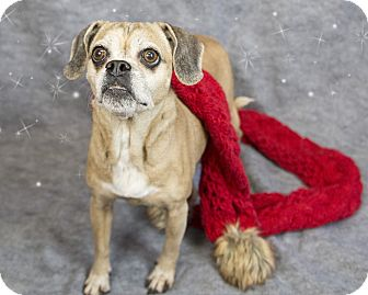 Pug/Beagle Mix Dog for adoption in Bedford, Indiana - Sissy