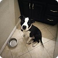 Adopt A Pet :: Tango - Las Vegas, NV