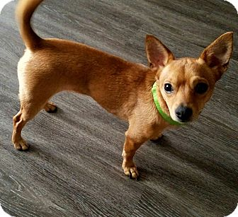 chihuahua rescue houston houston tx chihuahua mix meet mitzi a dog for adoption 7936