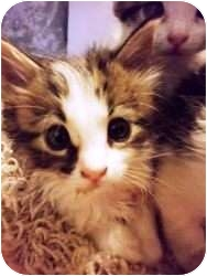 Domestic Mediumhair Kitten for adoption in Warren, Ohio - Shelly