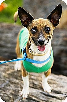 Chihuahua Mix Dog for adoption in Fresno, California - Dominique