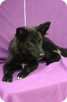 Belgian Shepherd Mix Puppy for adoption in Broomfield, Colorado - Magpie