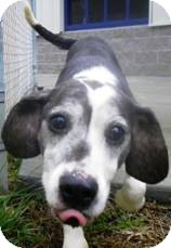 Basset Hound/Beagle Mix Dog for adoption in Lincolnton, North Carolina - Dottie & Ziggy