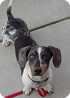 Dachshund Mix Dog for adoption in Jackson, Michigan - Shadow
