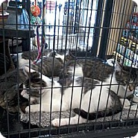 Adopt A Pet :: Kittens - West Dundee, IL