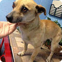 Dachshund/Chihuahua Mix Dog for adoption in Las Vegas, Nevada - Pineapple